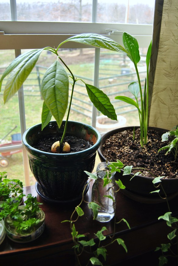 Growing an avocado tree from seed.